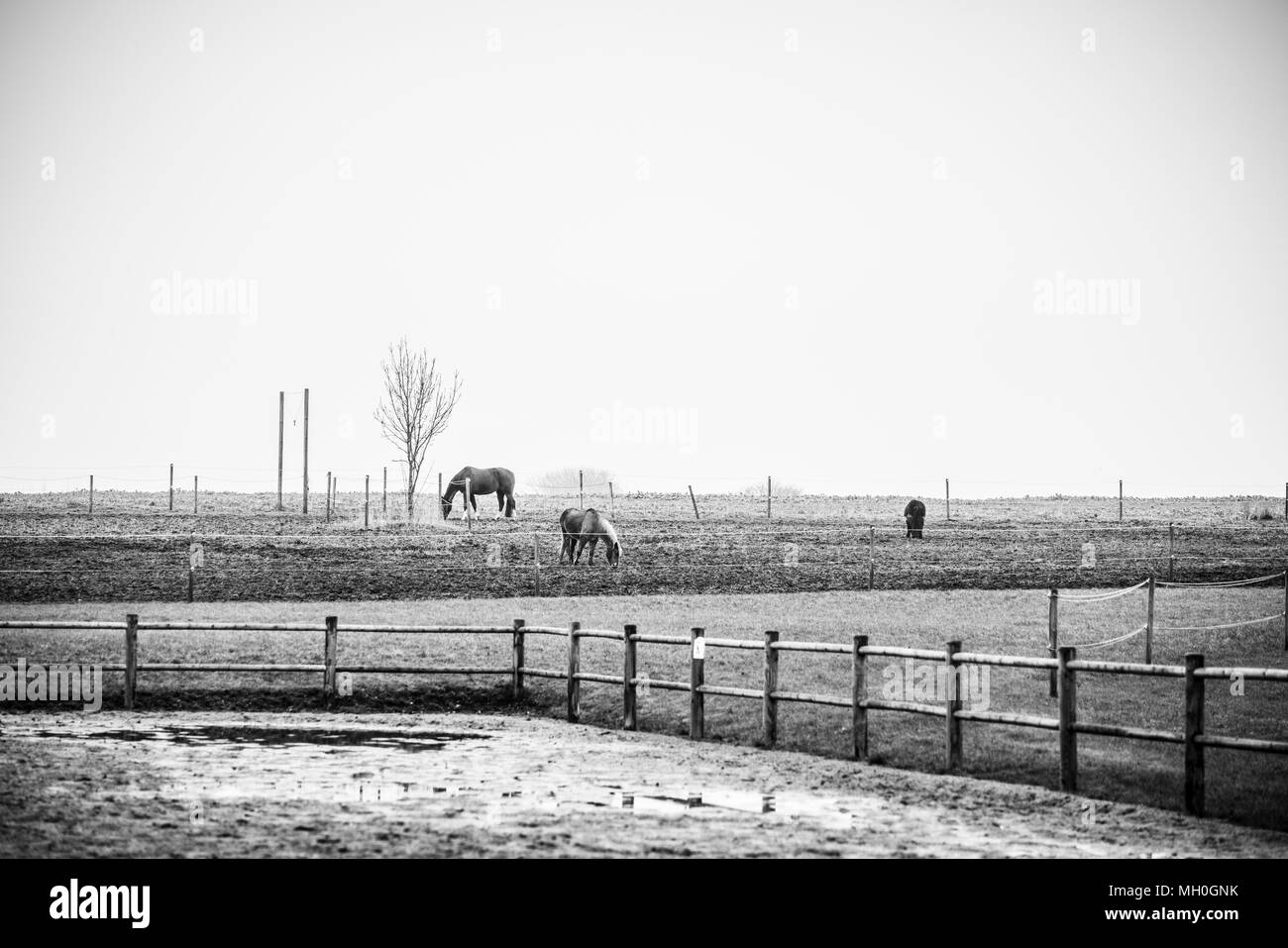Black and white photo of horses on a rural field with a fence - Stock Image