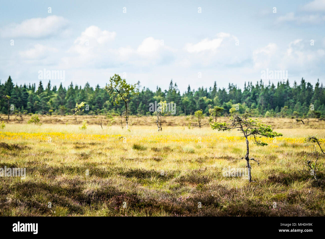 Small Pine Trees On A Dry Field With Yellow Flowers In The Summer