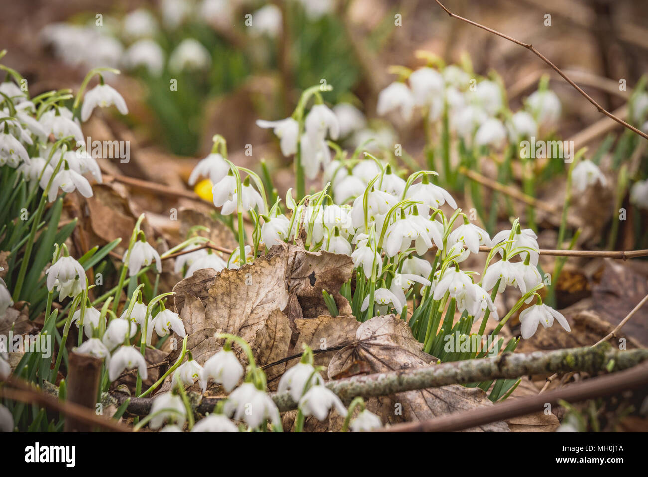 White snowdrop flowers growing in a forest with fallen leaves on the fround - Stock Image