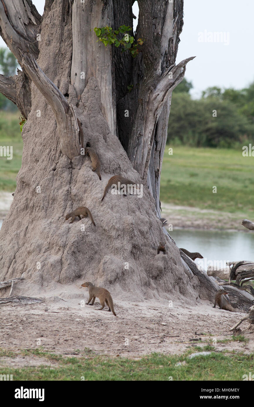 Banded Mongooses (Mungus mungo). Members of a band moving over a termite mound built around a tree trunk. Okavavango. Botswana. Africa. - Stock Image