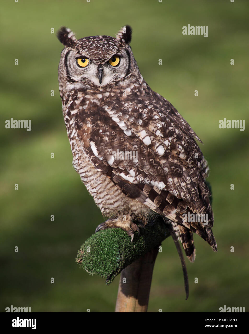 Great Horned Owl with long ear-like tufts and piercing yellow eyes. - Stock Image