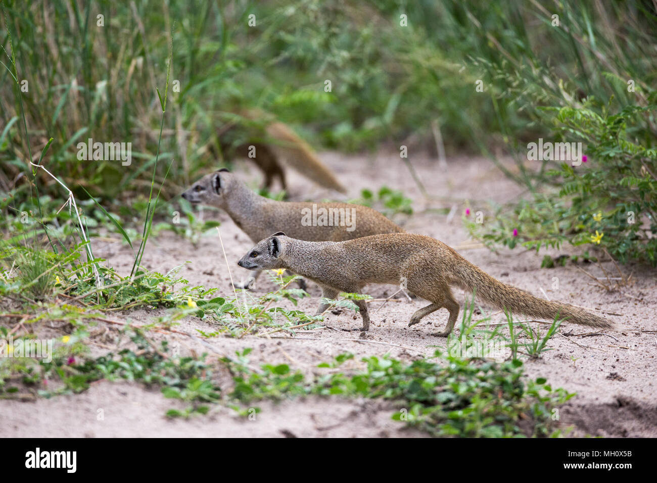 Yellow Mongoose, Red or Bushy-tailed Mongoose (Cynictus penicillata). Living in pairs and family groups, often forages alone. Okavango Delta, Botswana - Stock Image