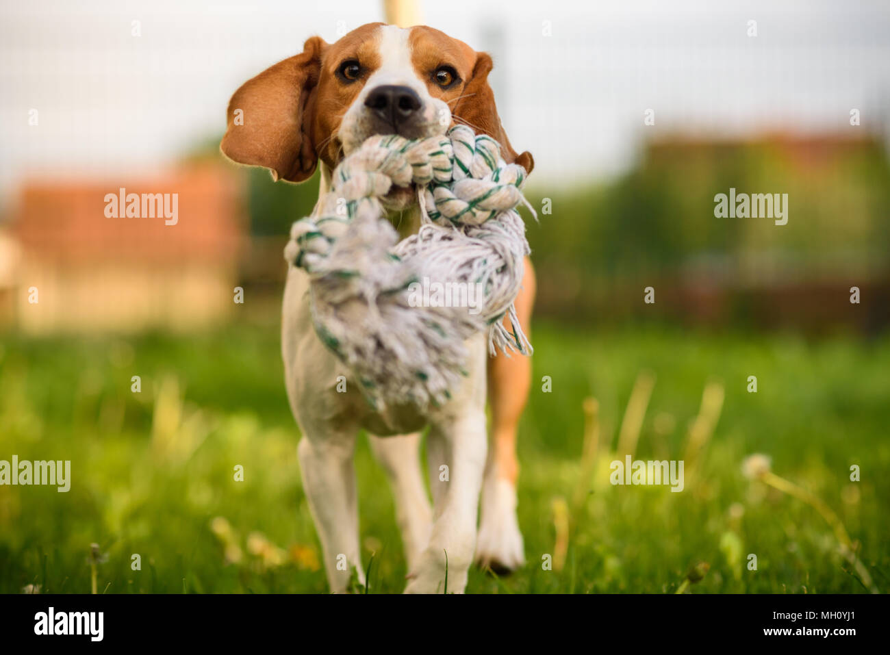 Beagle dog jumping and running with a toy outdoors towards the camera - Stock Image