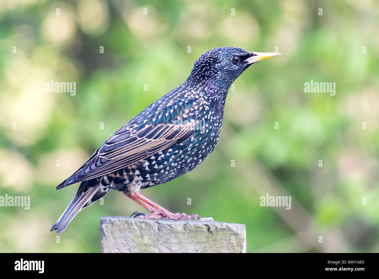starling on a fence post - Stock Image