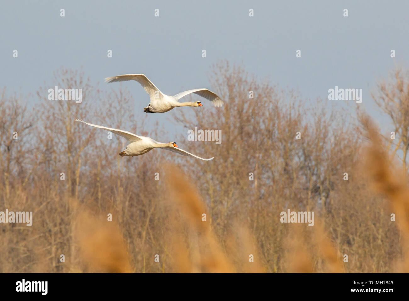 fliegende Schwäne Stock Photo