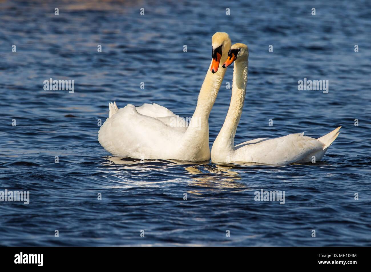 Liebesakt Paarung der Schwäne Stock Photo