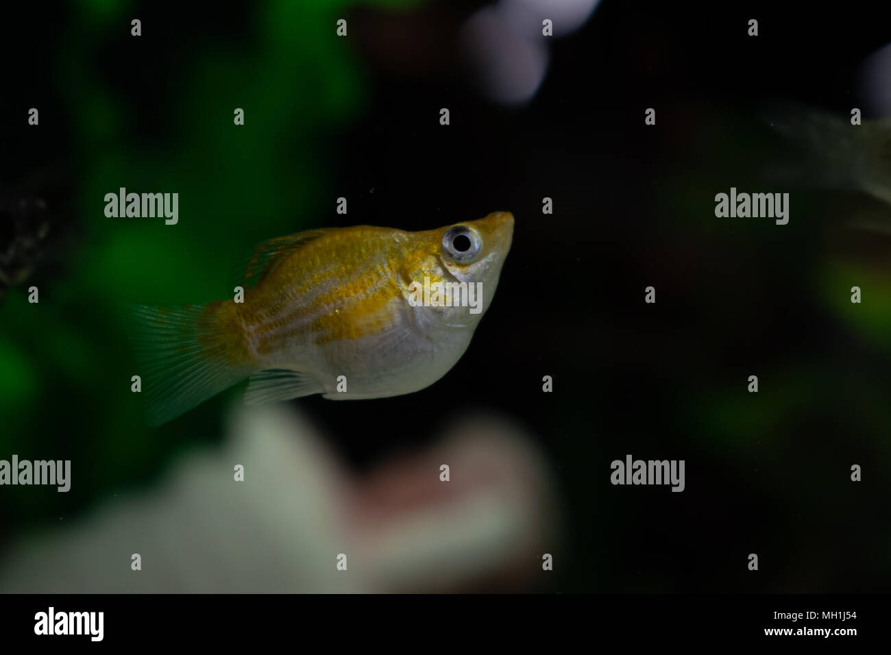 Small yellow and white balloon molly poecilia sphenops fish swimming underwater in aquarium on a dark background Stock Photo