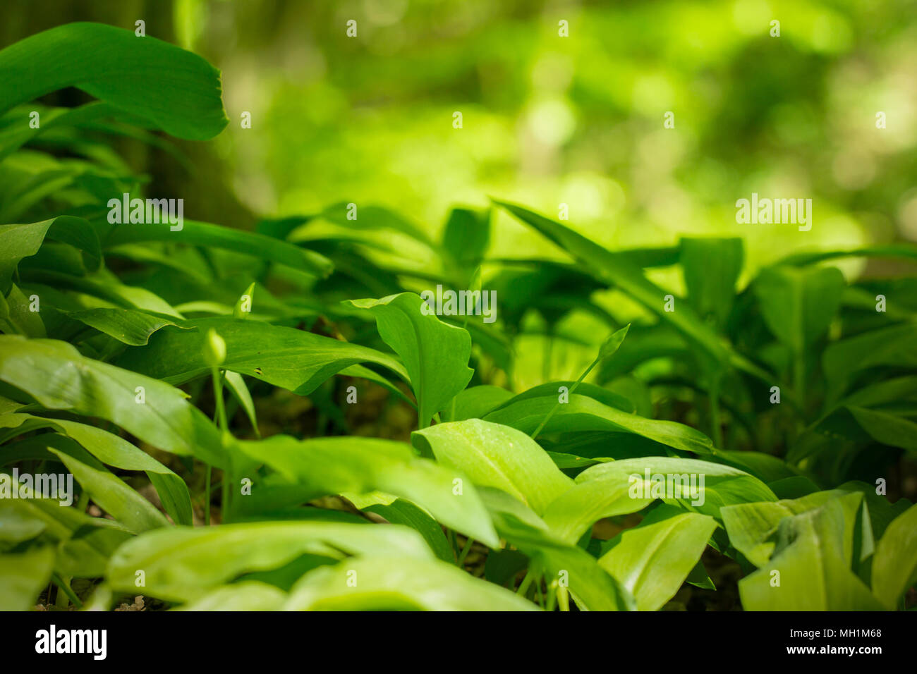 wild garlic plant - Stock Image