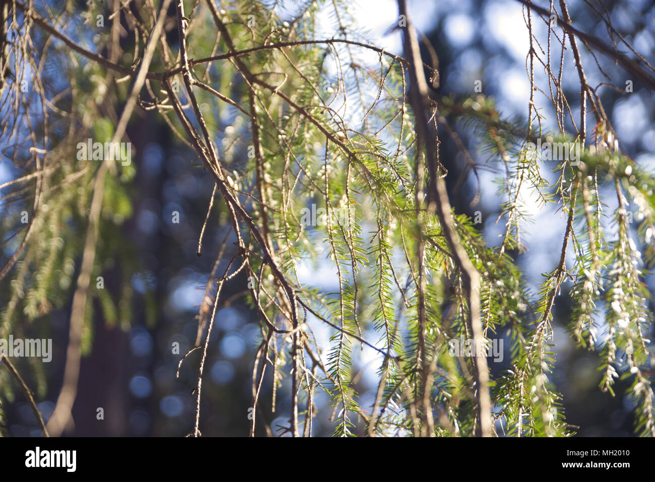 Branches and spikes of Norway spruce isolated with lots of bokeh. - Stock Image
