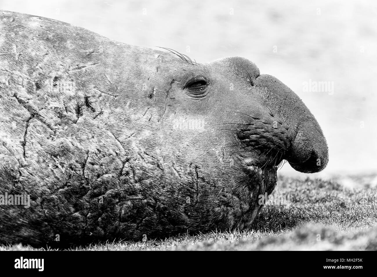 Elephant seal in black and white. South Georgia, South Atlantic Ocean. - Stock Image