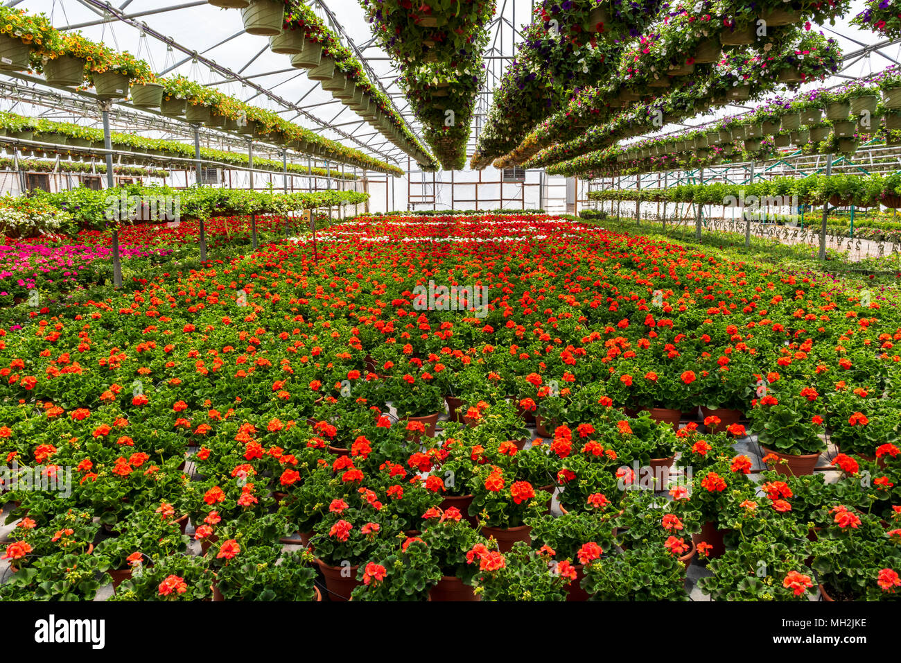 Fresh Spring Geranium Flowers For Sale At A Small Town Nursery Stock