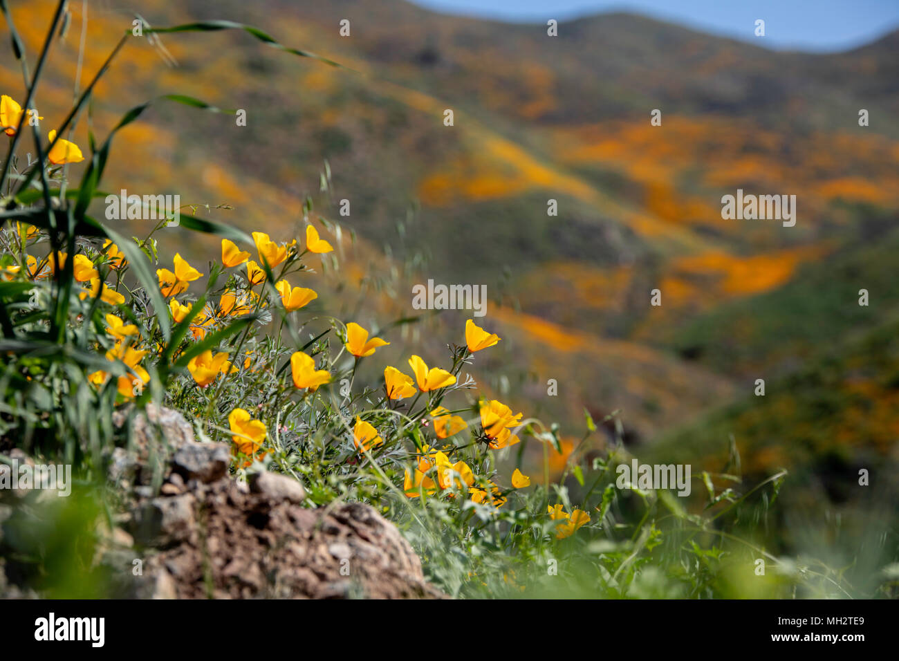 Poppies growing on the hillside in Walker Canyon during the super bloom - Stock Image