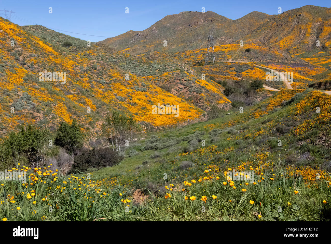 Super bloom on the hills in Wlaker Canyon California - Stock Image