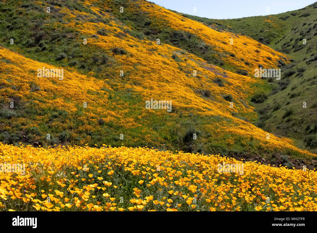 Wild flower super bloom in Walker Canyon California - Stock Image