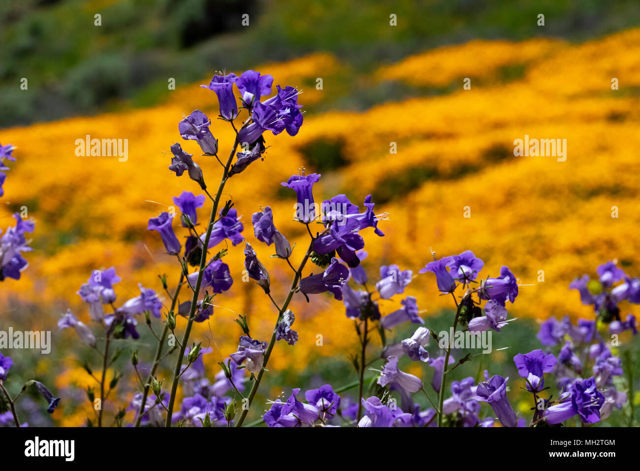 Purple wild flowers during the super bloom in Walker Canyon California - Stock Image