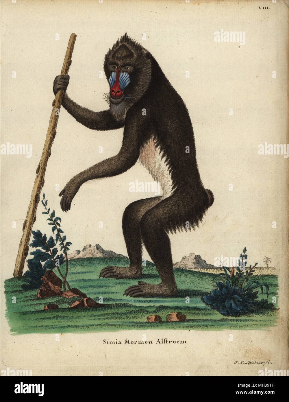 Mandrill, Mandrillus sphinx. Vulnerable. Simia mormon Alstroem. Handcoloured copperplate engraving by Johann Sebastian Leitner from Johann Christian Daniel Schreber's Animal Illustrations after Nature, or Schreber's Fantastic Animals, Erlangen, Germany, 1775. - Stock Image