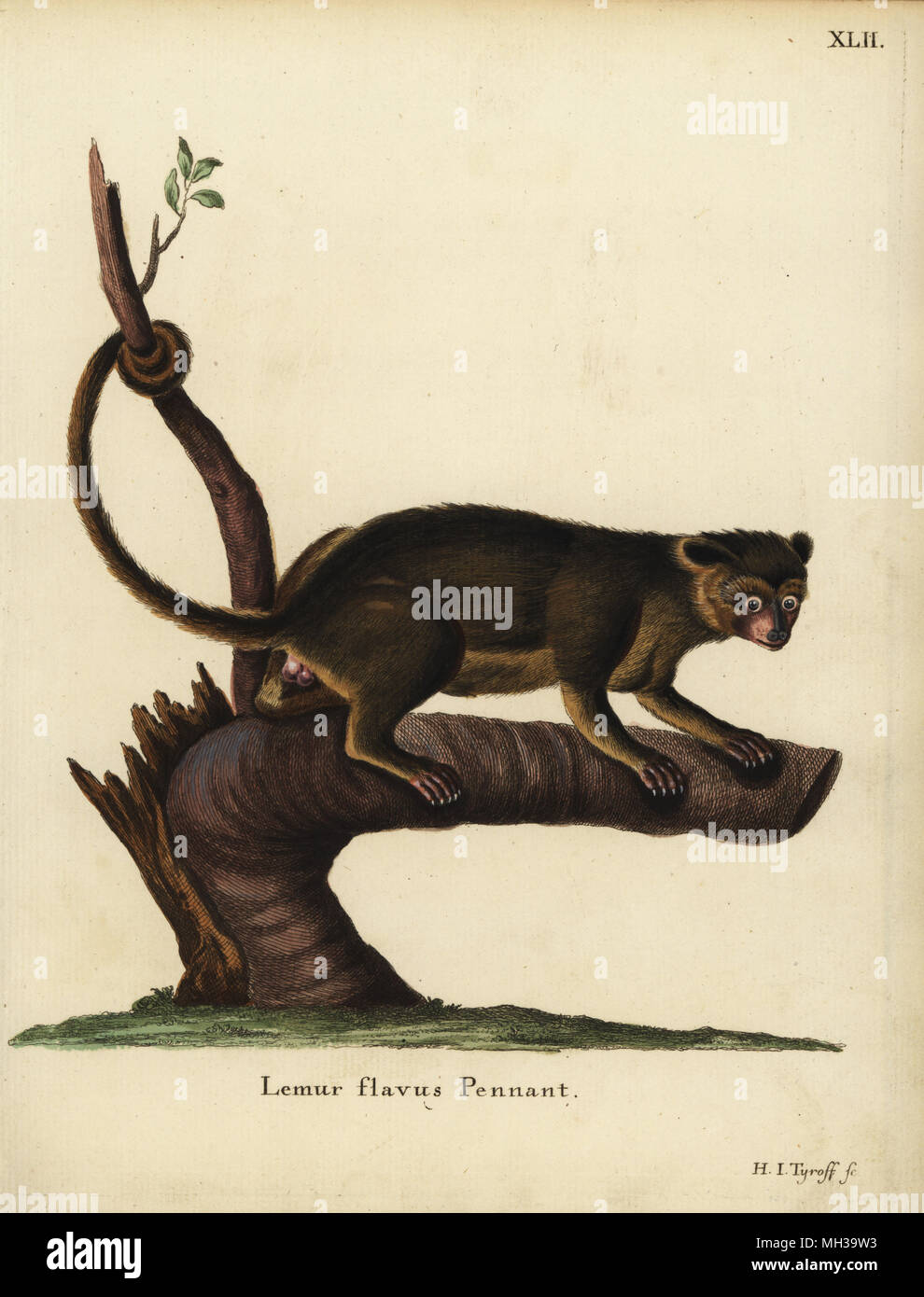 Kinkajou, Potos flavus. Lemur flavus Pennant. Handcoloured copperplate engraving by Hermann Jakob Tyroff from Johann Christian Daniel Schreber's Animal Illustrations after Nature, or Schreber's Fantastic Animals, Erlangen, Germany, 1775. - Stock Image