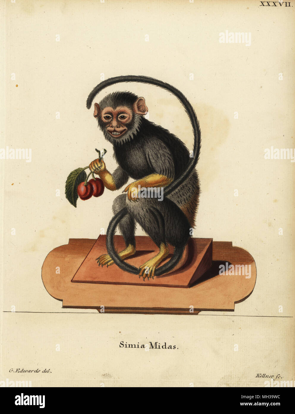 Red-handed or golden-handed tamarin, Saguinus midas. Simia midas. Handcoloured copperplate engraving by Joseph Kellner after an illustration by George Edwards from Johann Christian Daniel Schreber's Animal Illustrations after Nature, or Schreber's Fantastic Animals, Erlangen, Germany, 1775. - Stock Image