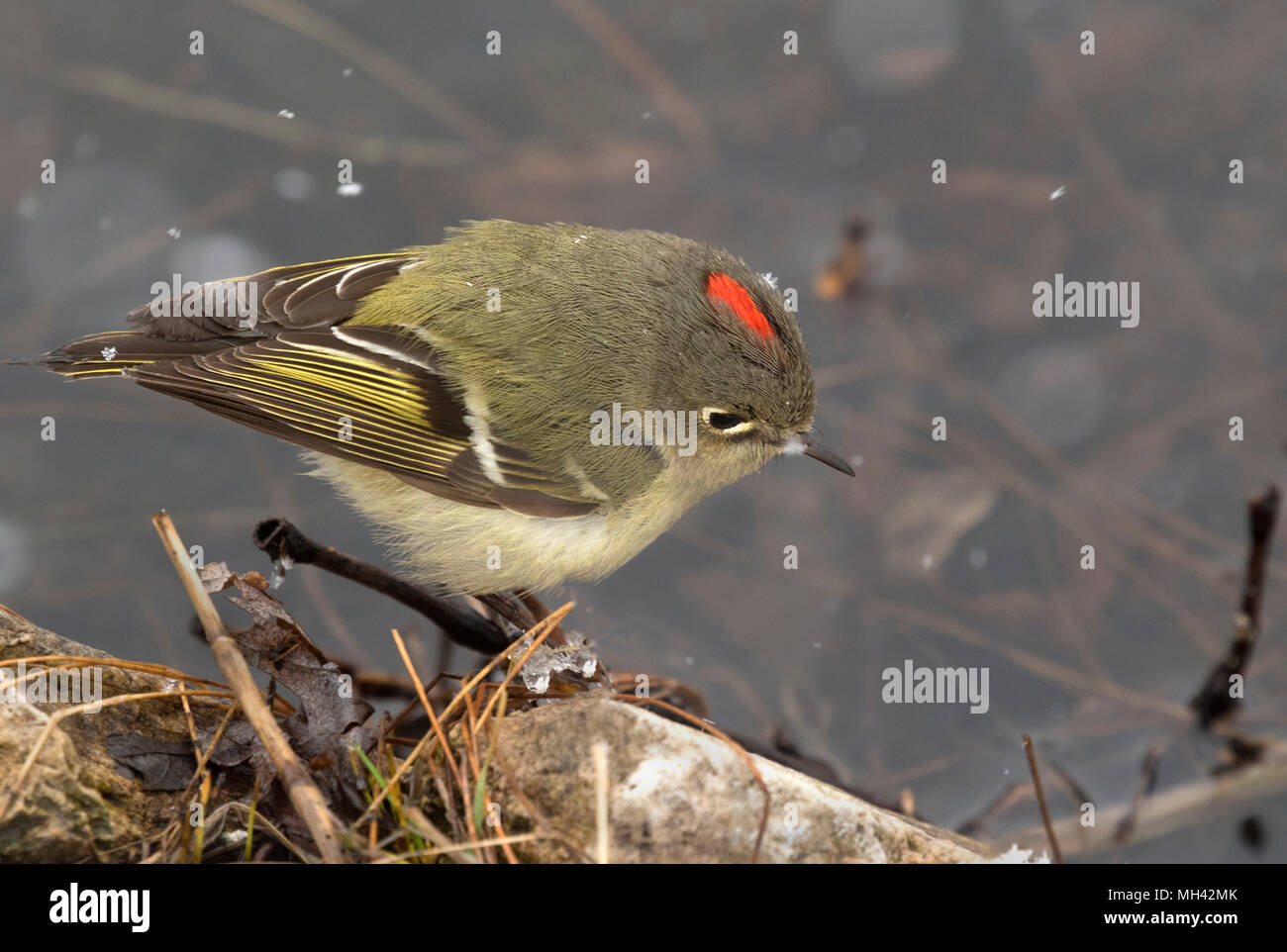 Ruby crowned kinglet on the branch over snow during spring migration through Iowa - Stock Image