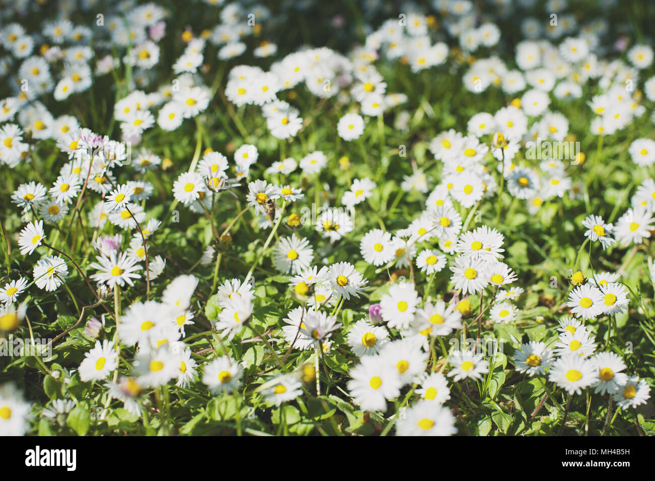Daisy Flower Background Beautiful Meadow Summer Background Stock