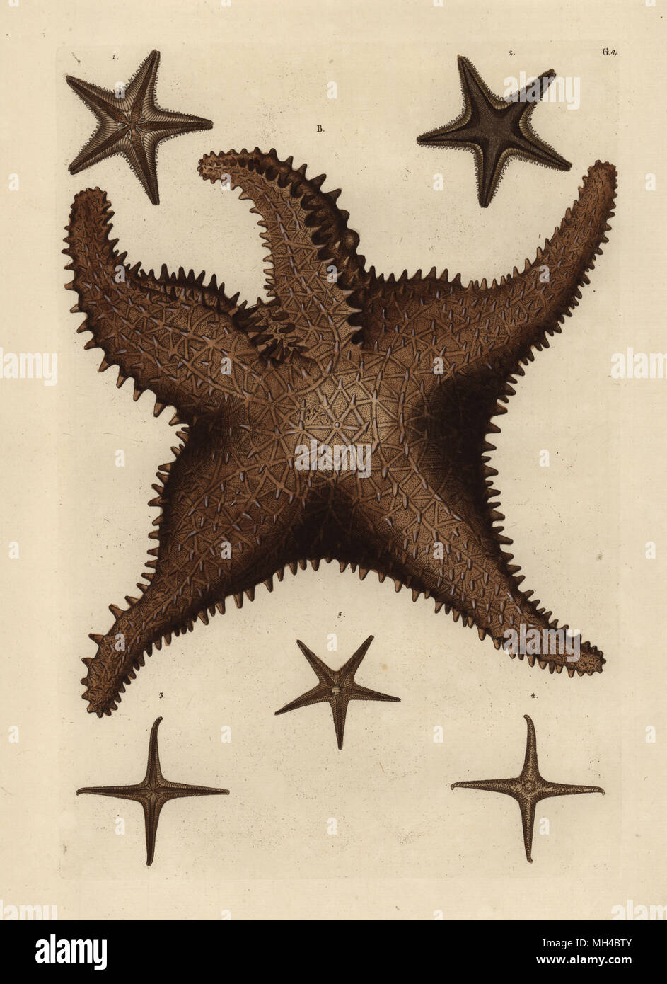 Sea Star Or Starfish With Five Arms Upper Side Asterias Rubens B