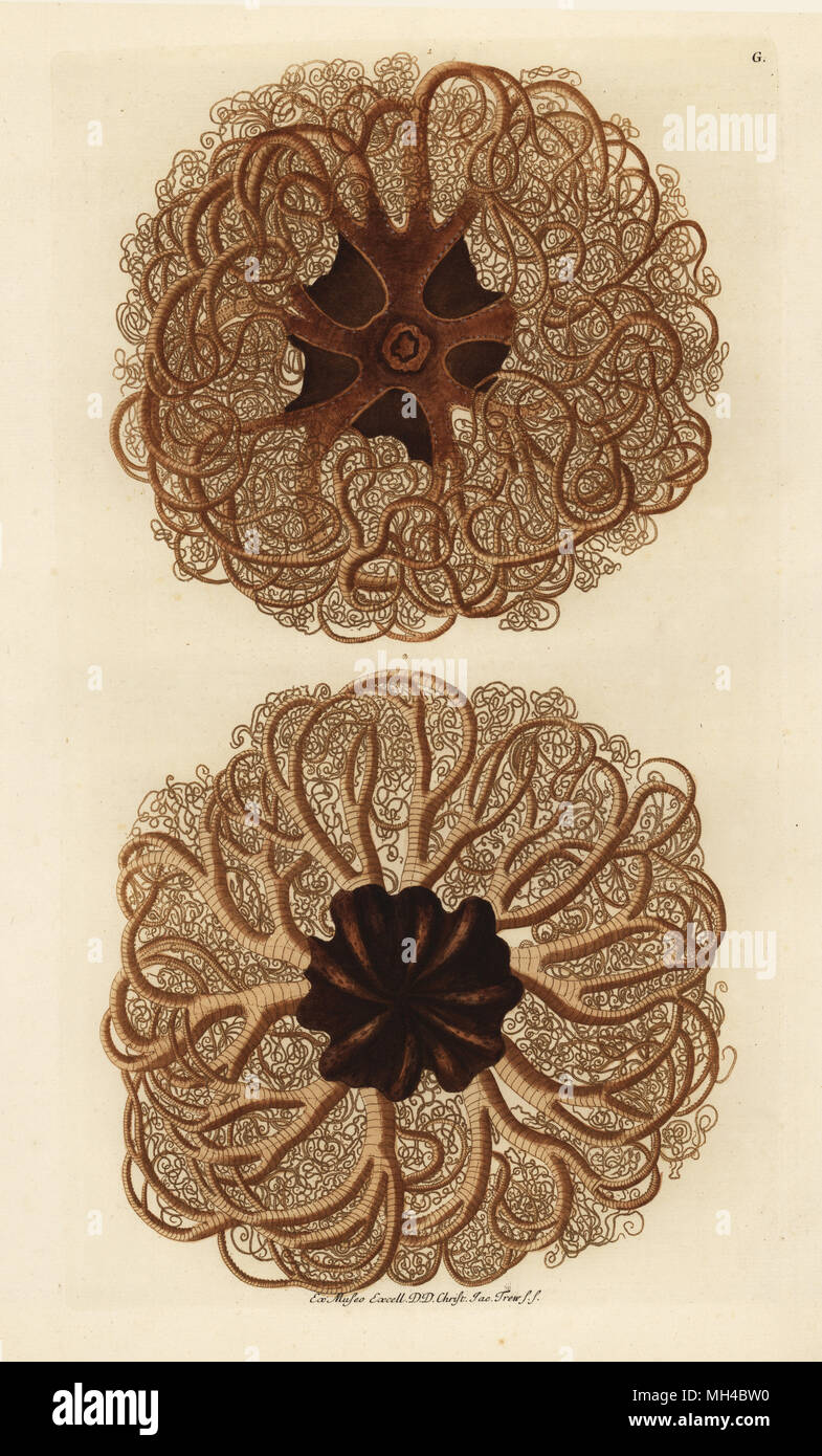 Basket sea star, Gorgonocephalus eucnemis from above and below. Handcoloured copperplate engraving from Georg Wolfgang Knorr's Deliciae Naturae Selectae of Kabinet van Zeldzaamheden der Natuur, Blusse and Son, Nuremberg, 1771. Specimens from a Wunderkammer or Cabinet of Curiosities owned by Dr. Christoph Jacob Trew in Nuremberg. - Stock Image