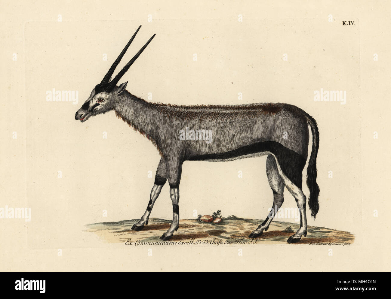 Gemsbok or gemsbuck, Oryx gazella (Chamois d'Afrique). Handcoloured copperplate engraving by Jakob-Andreas Eisemann from Georg Wolfgang Knorr's Deliciae Naturae Selectae of Kabinet van Zeldzaamheden der Natuur, Blusse and Son, Nuremberg, 1771. Specimens from a Wunderkammer or Cabinet of Curiosities owned by Dr. Christoph Jacob Trew in Nuremberg. - Stock Image