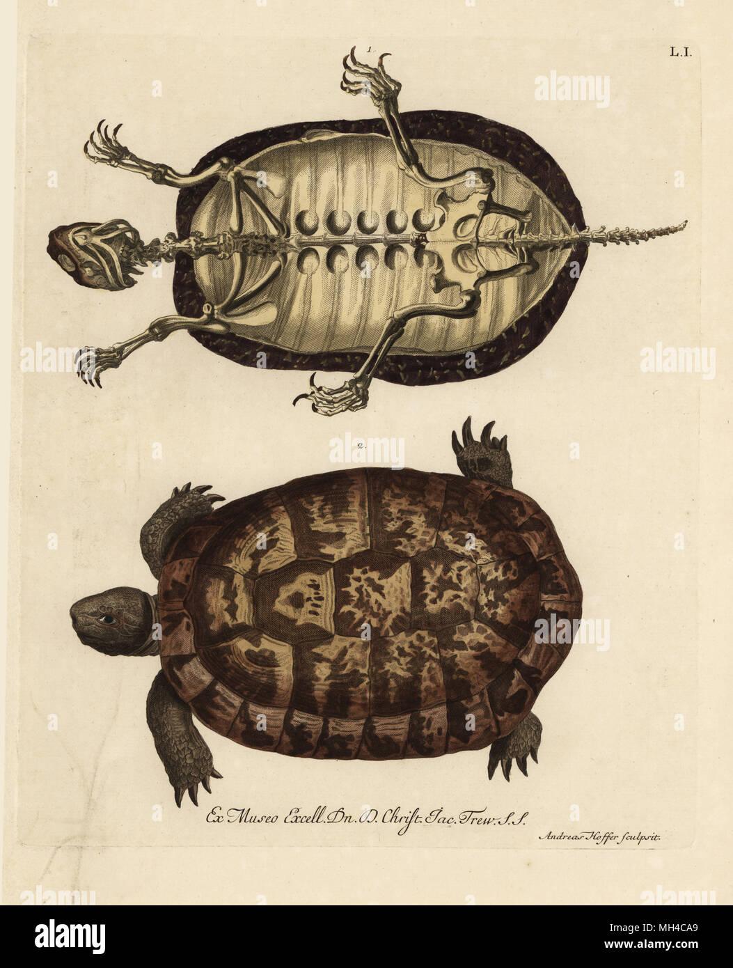 Tortoise Skeleton Stock Photos Tortoise Skeleton Stock Images Alamy