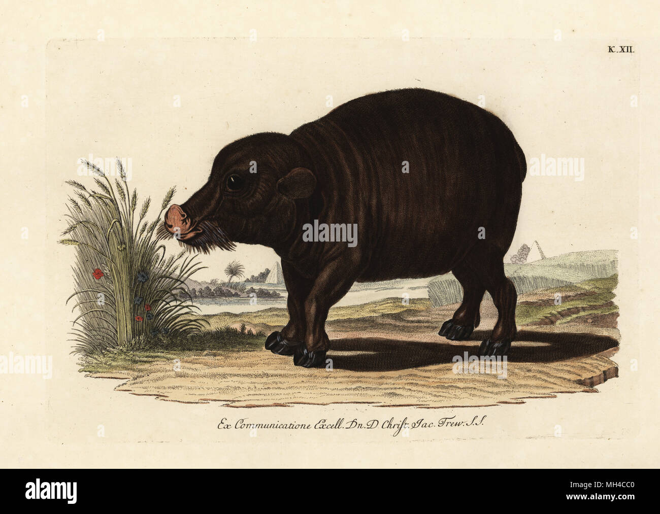 Nile hippopotamus, Hippopotamus amphibius. Vulnerable. L'Hippopotame amphibie du Nil. Handcoloured copperplate engraving from Georg Wolfgang Knorr's Deliciae Naturae Selectae of Kabinet van Zeldzaamheden der Natuur, Blusse and Son, Nuremberg, 1771. Specimens from a Wunderkammer or Cabinet of Curiosities owned by Dr. Christoph Jacob Trew in Nuremberg. - Stock Image