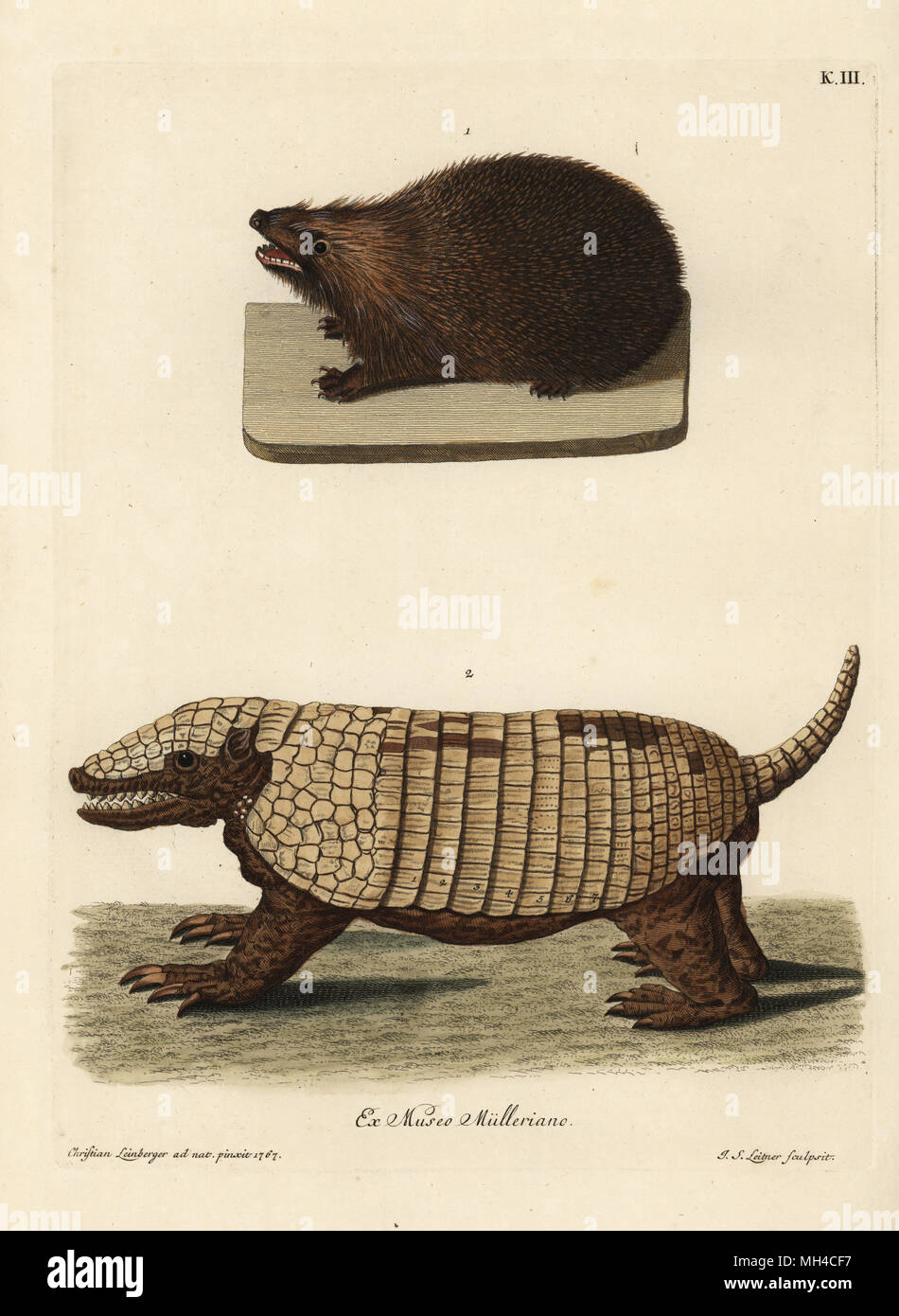 European hedgehog, Erinaceus europaeus, and seven-banded armadillo, Dasypus septemcinctus. (Porc epic de Zelande, Tatou ou armadillo d'Amerique.) Handcoloured copperplate engraving by Johann Sebastian Leitner after an illustration from nature by Christian Leinberger from Georg Wolfgang Knorr's Deliciae Naturae Selectae of Kabinet van Zeldzaamheden der Natuur, Blusse and Son, Nuremberg, 1771. Specimens from a Wunderkammer or Cabinet of Curiosities owned by P.L. Muller. - Stock Image