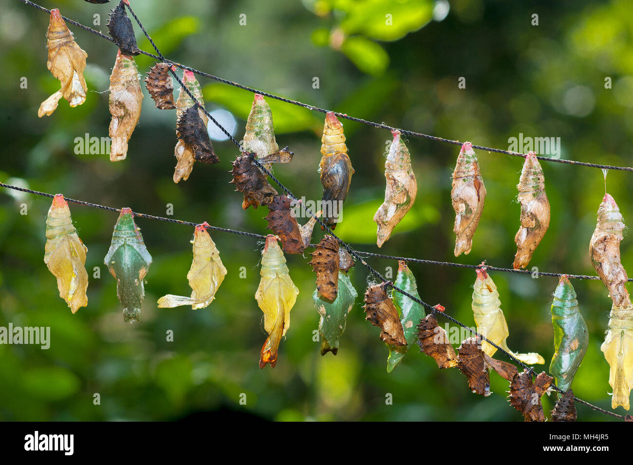 Strings of butterfly chrysalis hang at the Butterfly Farm in Puerto Princesa, Palawan Island in the Philippines. Small, white parasite eggs can be see - Stock Image