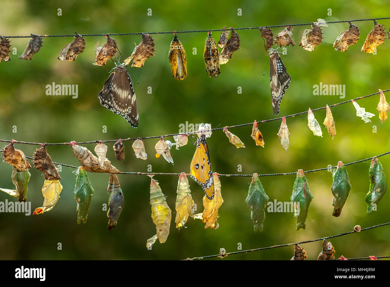 A variety of butterfly chrysalises, some with parasitic eggs attached, hang on strings like Chinese lanterns at the Butterfly Eco Garden and Tribal Vi - Stock Image