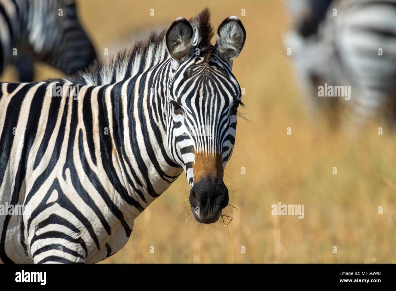 Zebra on grassland in Africa, National park of Kenya Stock Photo
