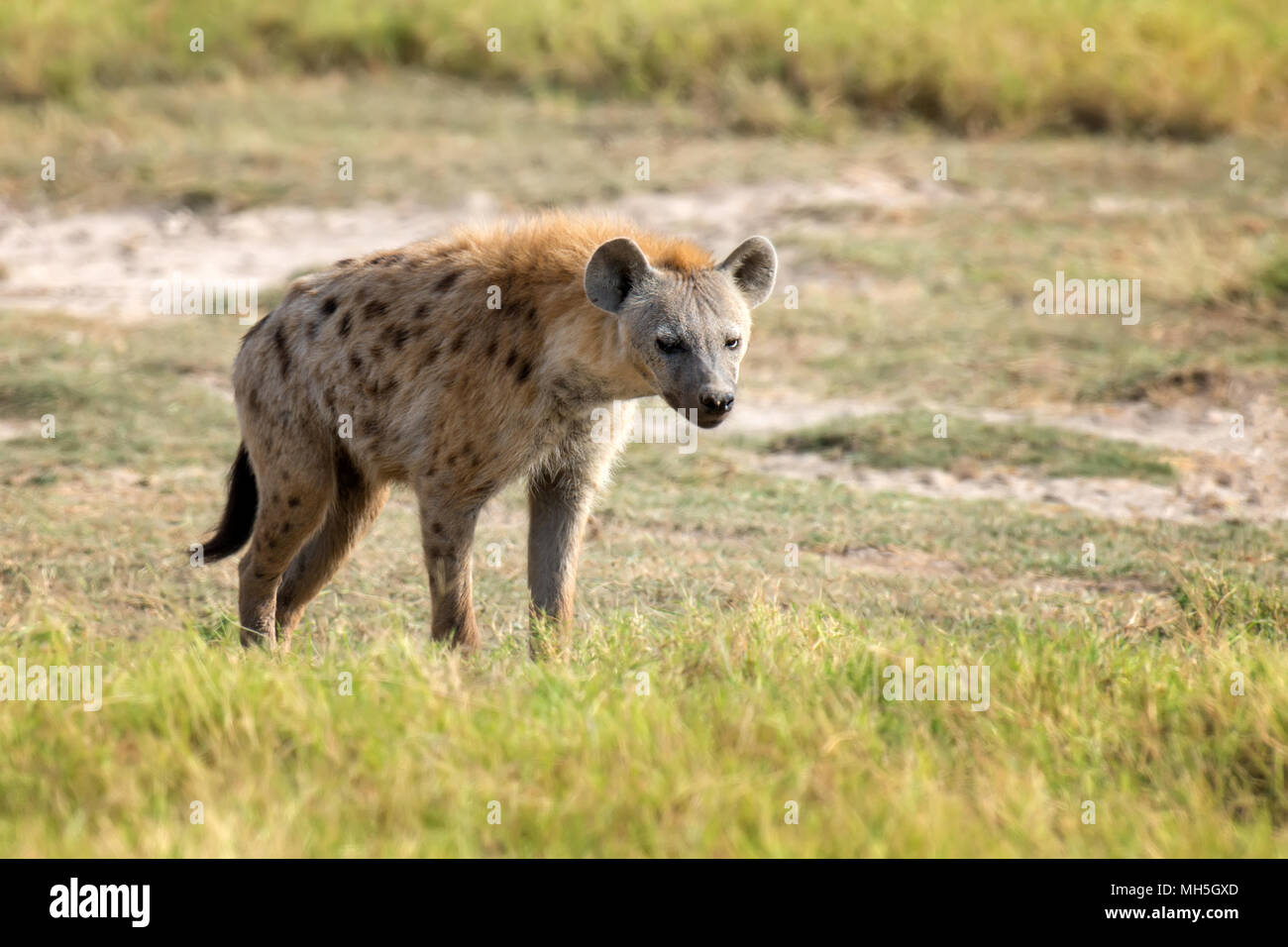 Spotted Hyena (Crocuta crocuta) in the National park of Kenya - Stock Image