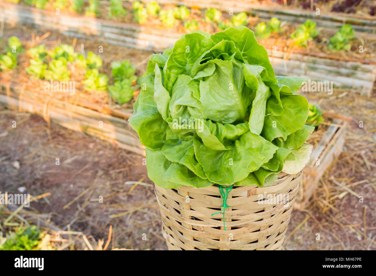 Fresh leaf vegetable cultivated in bamboo pole as farming Stock