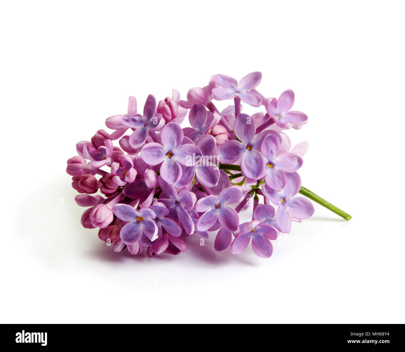 Purple lilac flower on white background. - Stock Image
