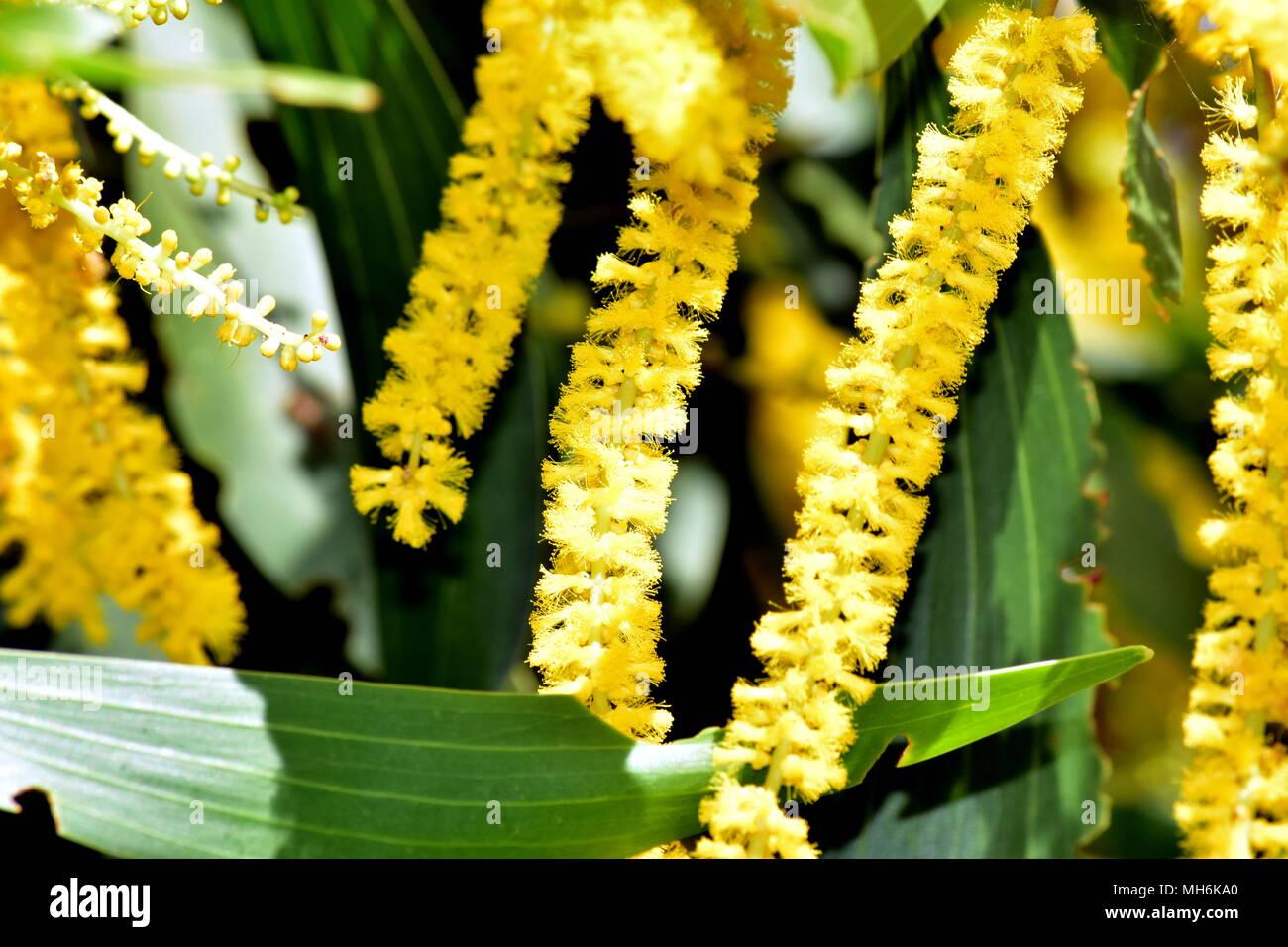 Acacia Longifolia Sydney Golden Wattle Stock Photo 182699720 Alamy