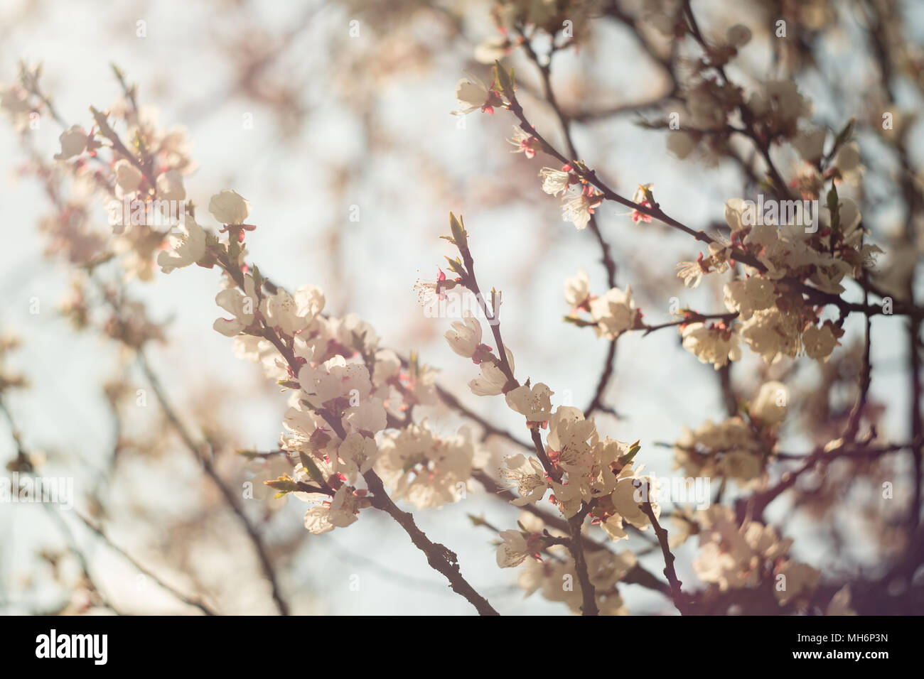 Spring Flowering Of Apricot Tree White Flowers Of Apricot Spring