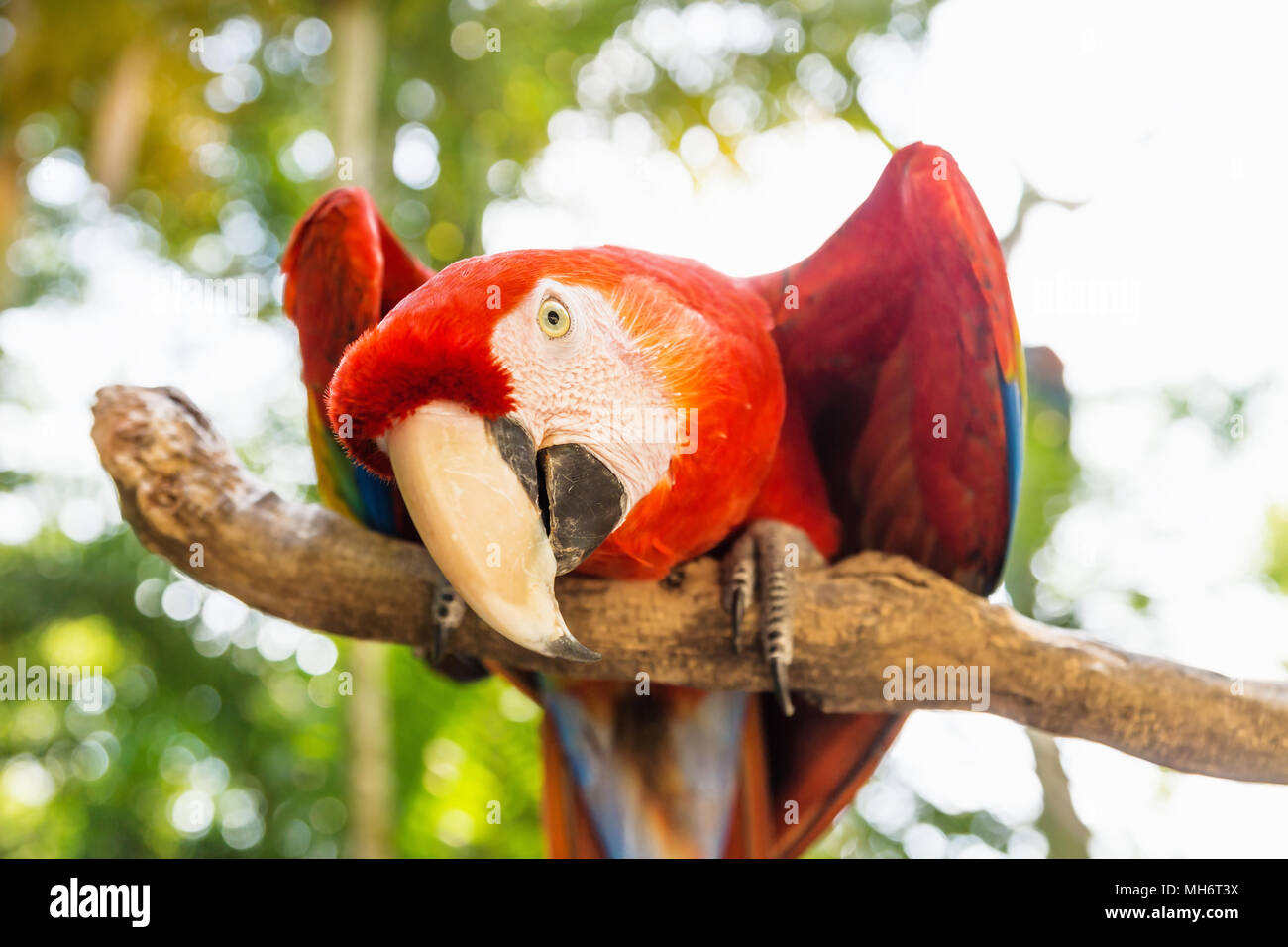 Playful looking Scarlett Macaw bird parrot with red in Macaw Mountain, Copan Ruinas, Honduras, Central America - Stock Image