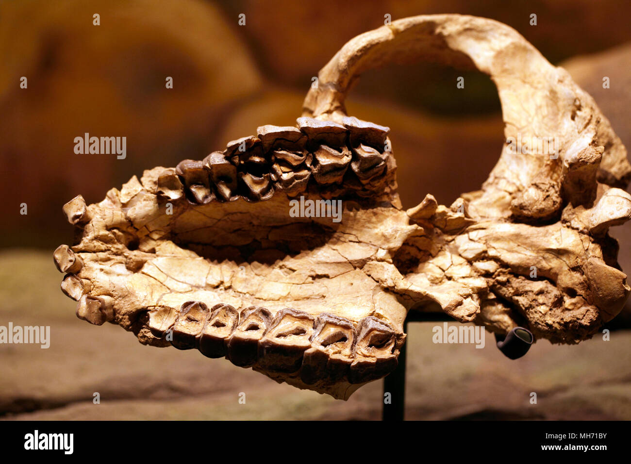 Pyrotherium teeth. extinct genus of South American ungulate or donkey fossil. Skull. - Stock Image