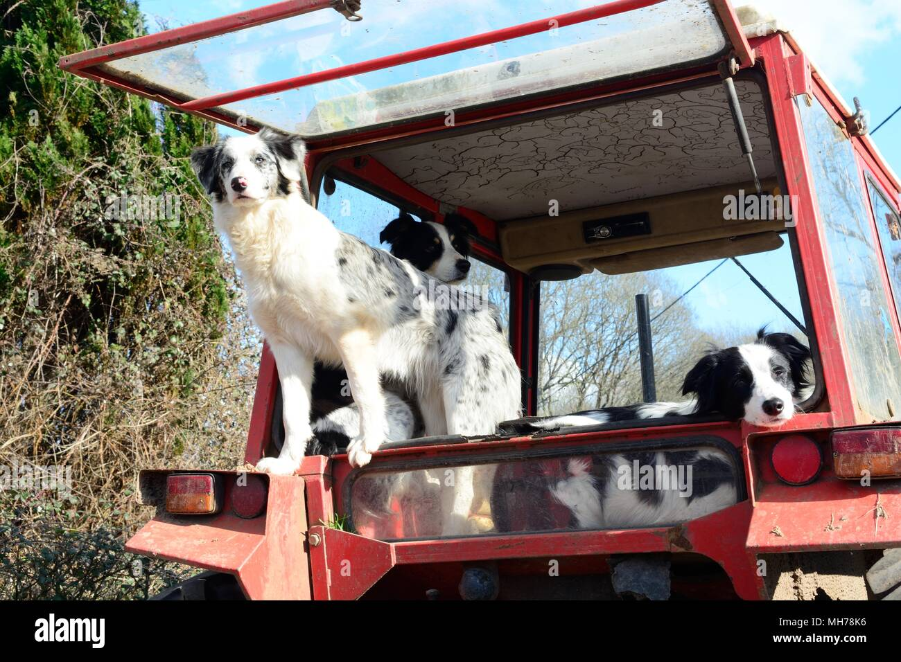 Three sheep dogs waiting patiently in the back of a tractor waiting for their master - Stock Image