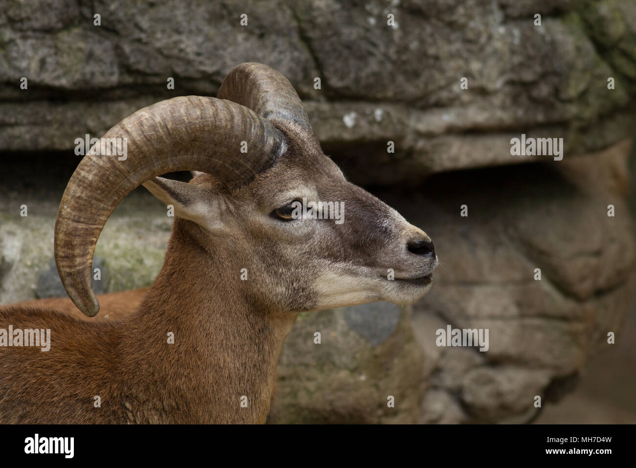 Big Horn Sheep - Stock Image