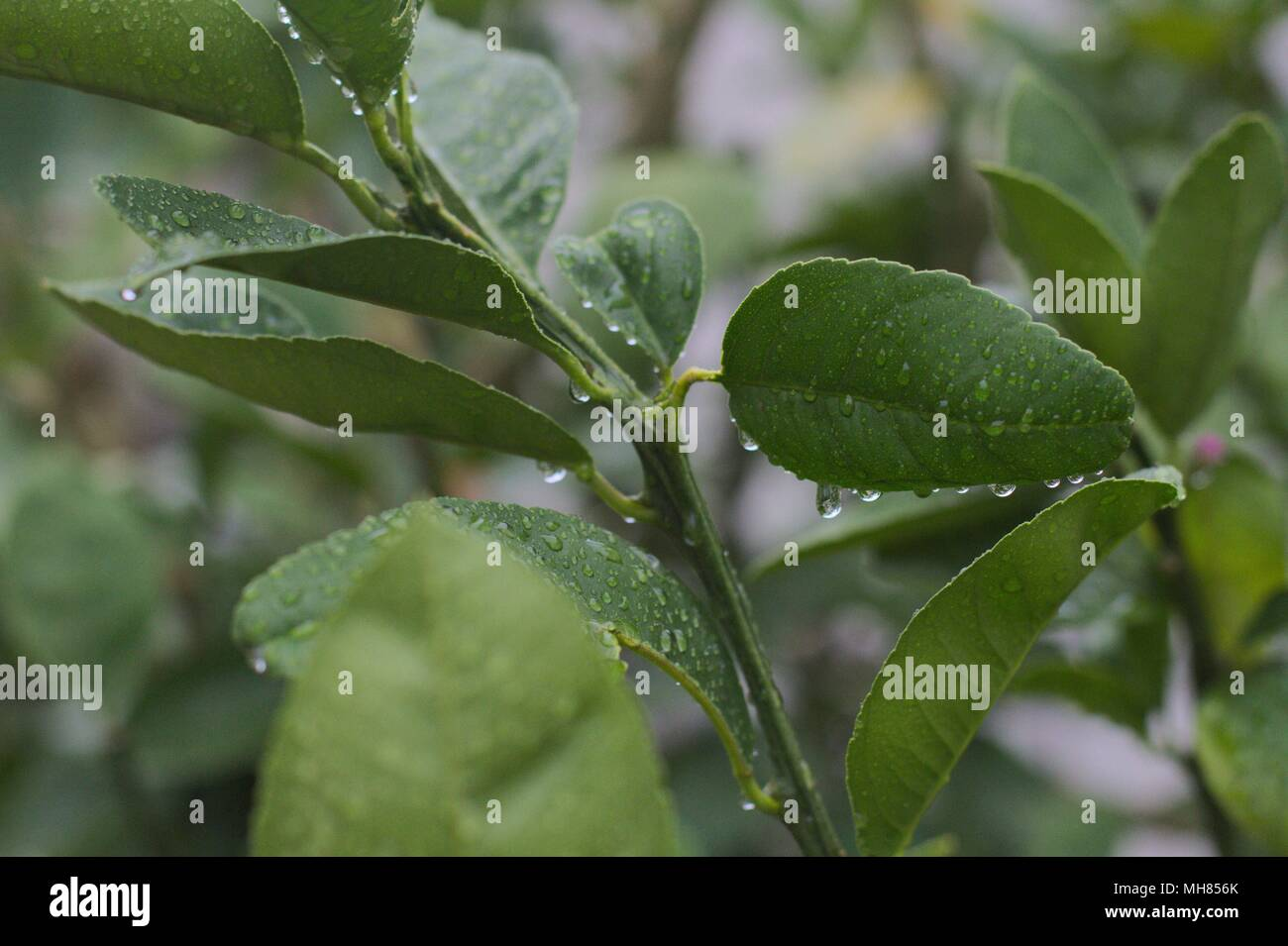 Leafy branch of a lemon citrus tree, with water droplets after a rainstorm. Stock Photo