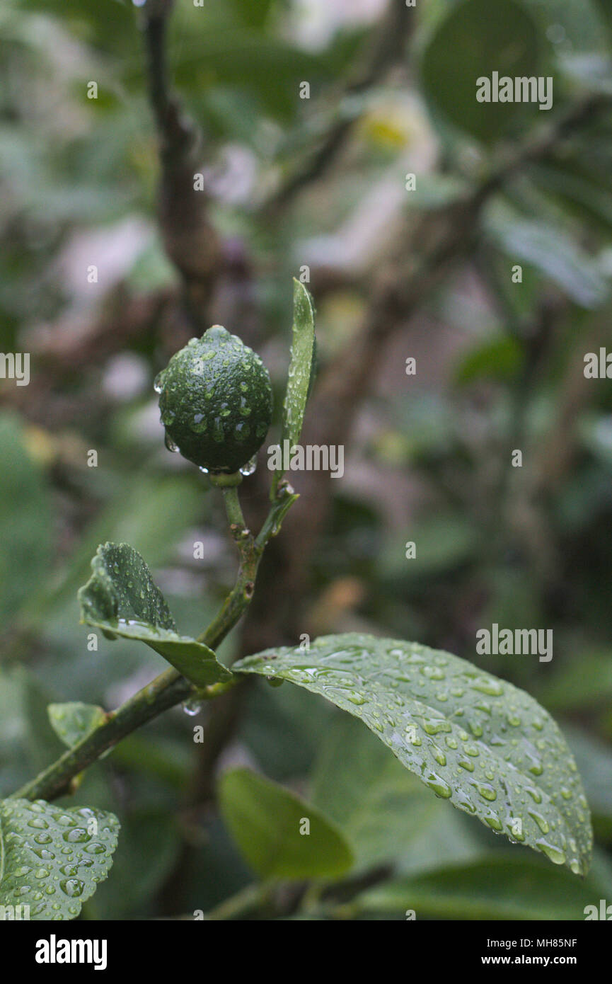 Immature fruit on a lemon tree branch, with water droplets after a rainstorm. Stock Photo