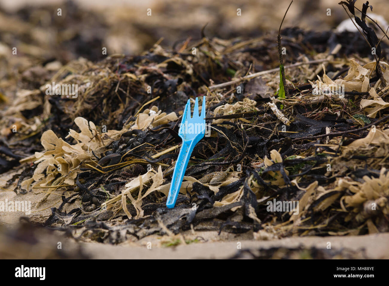 Plastic takeaway fork amongst seaweed washed up on Harlech beach in West Wales UK an example of the many pieces of plastic pollution in the sea - Stock Image