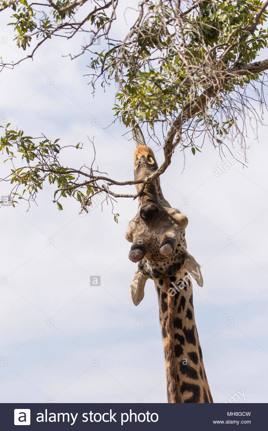 Rear view of giraffe eating leaves in the Greater Mara Conservancies, Kenya - Stock Image