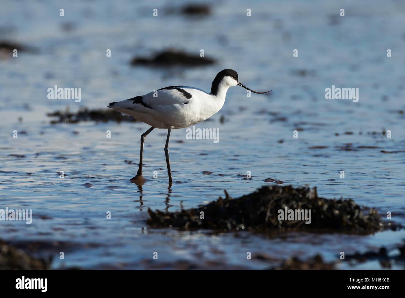 Avocet on the River Exe Estuary - Stock Image