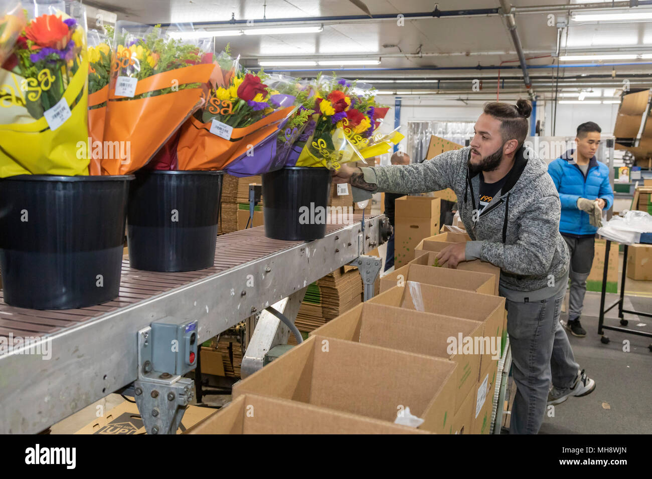 Doral, Florida - Workers process cut flowers from South America at the USA Bouquet warehouse near the Miami airport. Working at 40 degrees F, workers  - Stock Image