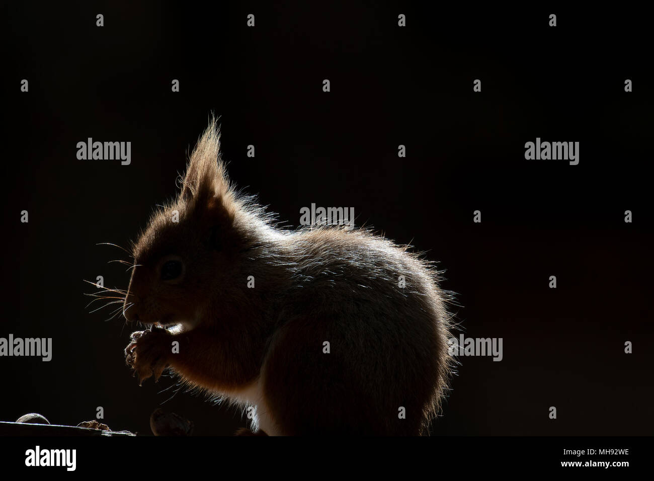 Red squirrel, Sciurus Vulgaris, silhouette sitting on heather and grass in the forests of cairngorms national, scotland eating nuts - Stock Image