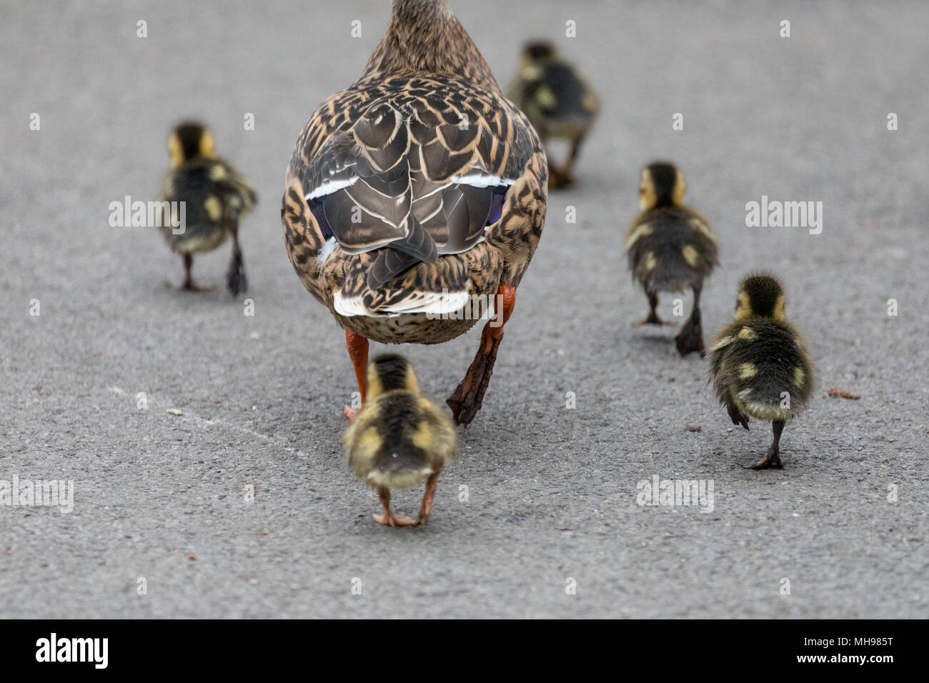 Rear view of a family of young ducklings walking on land at WWT Martin Mere - Stock Image